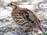 Turkey enthusiasts try to aid quail, too