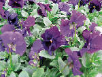 Five tips for growing pansies and violas
