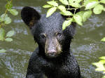 Record number of black bears killed in TN