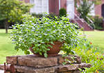 Five tips for growing mint