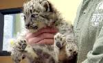 Video: Chattanooga Zoo debuts two snow leopard cubs