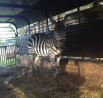 Zeke the zebra still on the loose in Bradley County; owner says Zeke has always preferred solitude