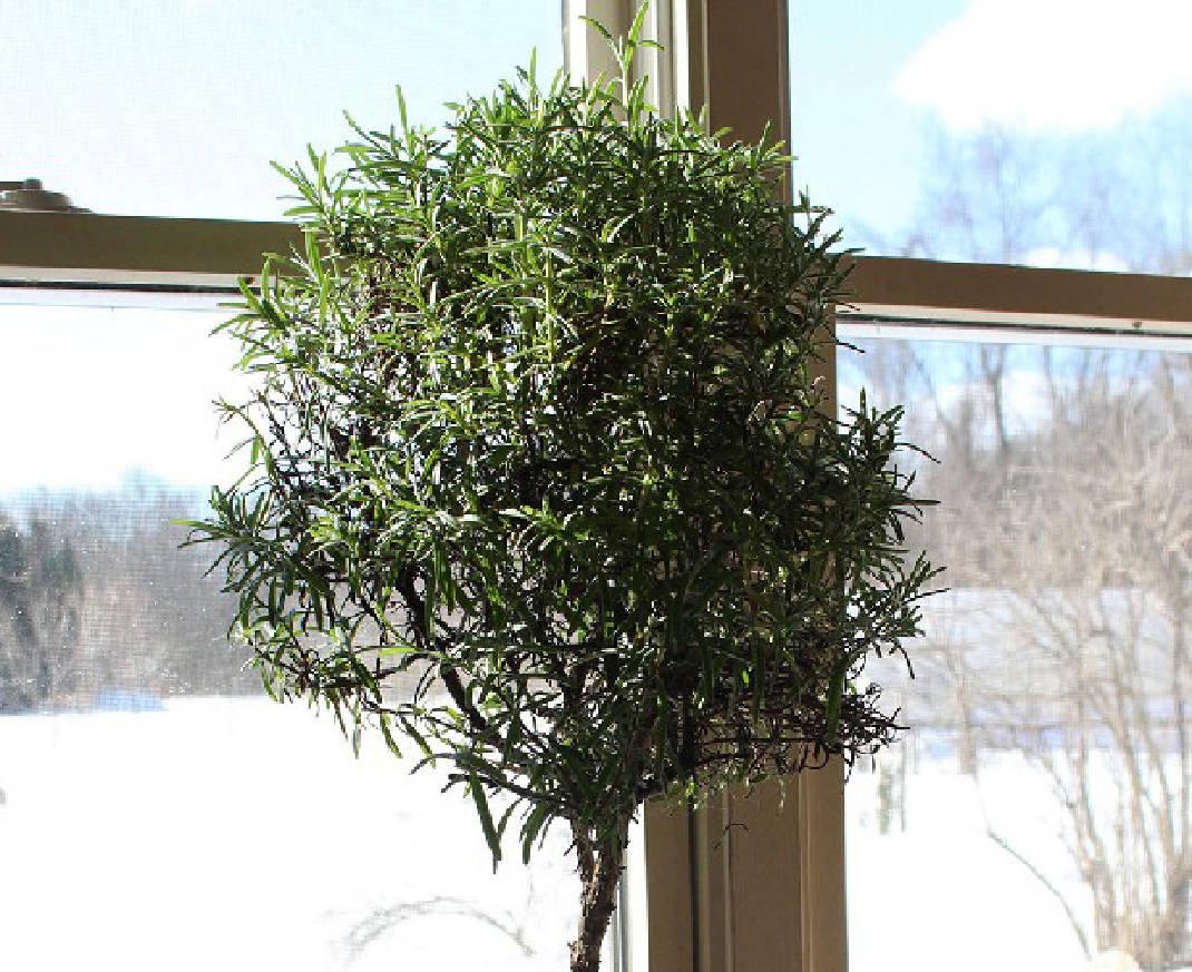 How To Turn A Rosemary Bush Into A Tree Chattanooga Times Free Press