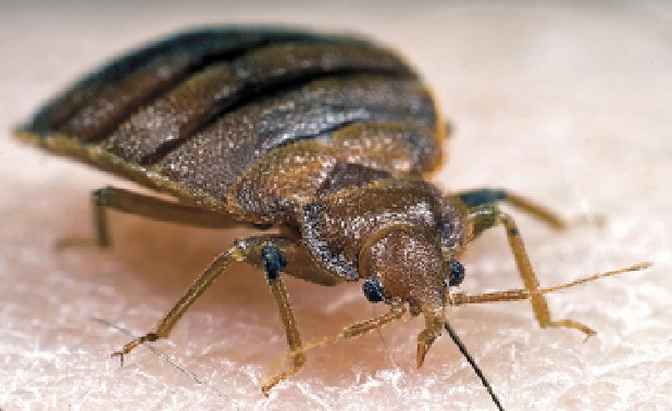 "This 2006 photograph depicted a frontal view of an adult bed bug, <i>Cimex lectularius</i>, as it was in the process of ingesting a blood meal from the arm of a ""voluntary"" human host.<p>Bed bugs are not vectors in nature of any known human disease.  Although some disease organisms have been recovered from bed bugs under laboratory conditions, none have been shown to be transmitted by bed bugs outside of the laboratory.  Bed bug bites are difficult to diagnose due to the variability in bite response between people, and due to the change in skin reaction for the same person over time.   It is best to collect and identify bed bugs to confirm bites.  Bed bugs are responsible for loss of sleep, discomfort, disfiguring from numerous bites and occasionally bites may become infected.