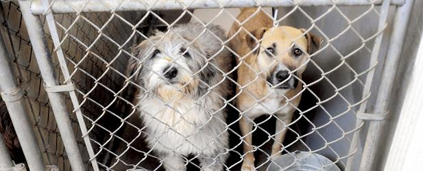 Dogs look out of a cage at the Hamilton County Humane Educational Society. Staff File Photo by Angela Lewis.