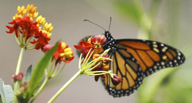 **ADVANCE FOR MONDAY, SEPT. 3** A monarch butterfly feeds on silky red milkweed, in a backyard butterfly garden.. (AP Photo/The Pantagraph, Steve Smedley)