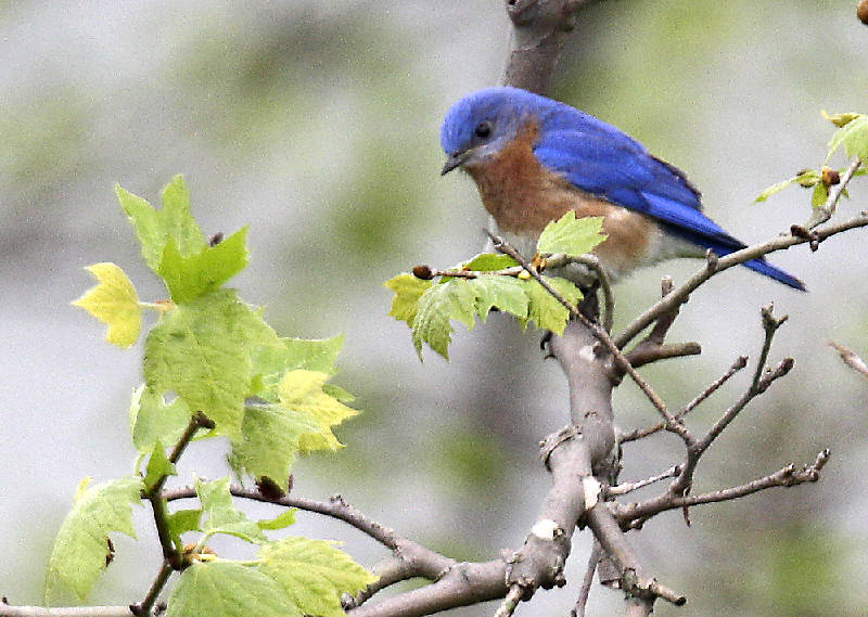 Garden tips: How to attract bluebirds to your back yard ...