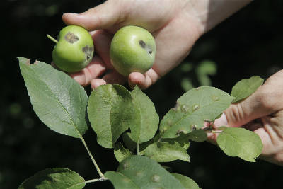 Apple scab fungus more resistant to pesticides | Times Free Press