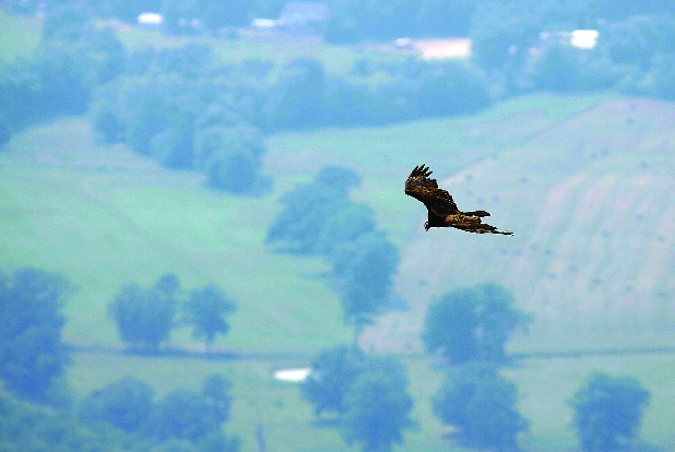 A turkey vulture flys over the valley below Fort Mountain nestled in the North Georgia mountains just over an hour's drive from Chattanooga.