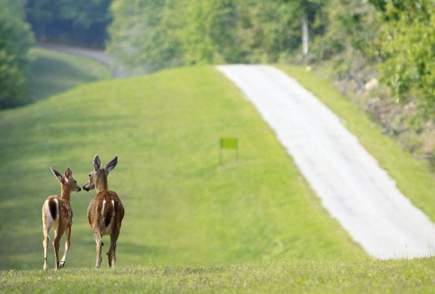A fawn and doe wander along the southern boundary of Enterprise South Nature Park. Officials are planning to allow a regulated number of hunters access to the park during two weekends in October to hunt deer and turkey to comply with a contract the park signed with TWRA.