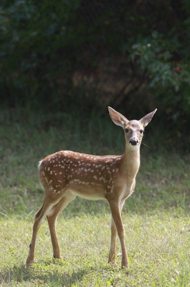 A fawn and wanders along the southern boundary of Enterprise South Nature Park late Tuesday morning. Officials are planning on allowing a regulated number of hunters access to the park during two weekends in October to hunt deer and turkey to comply with a contract the park signed with TWRA.