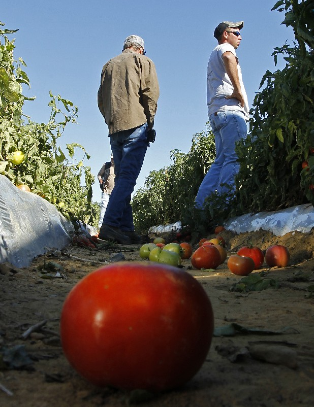 Tomato farmer Chad Smith, right, looks over one of his fields of ripening tomatoes in Steele, Ala. Only a few of Smith's field workers showed up for work after Alabama's new immigration law took effect. Georgia and Alabama have approved laws that have tough enforcement provisions that farmers say are scaring migrant workers away from the states.