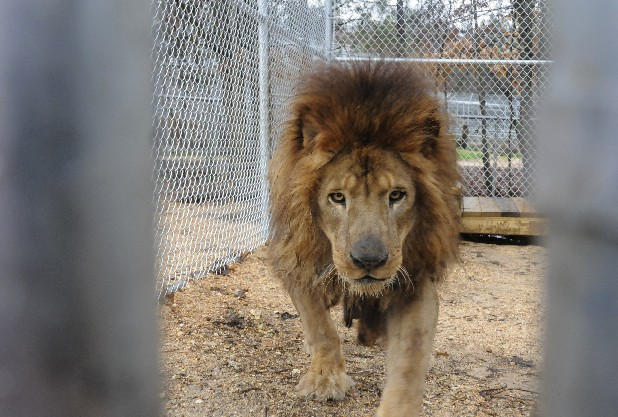 Kazuma, a 14-year-old African lion, recently arrived at Tigers for Tomorrow at Untamed Mountain, a reserve in Attalla, Ala.