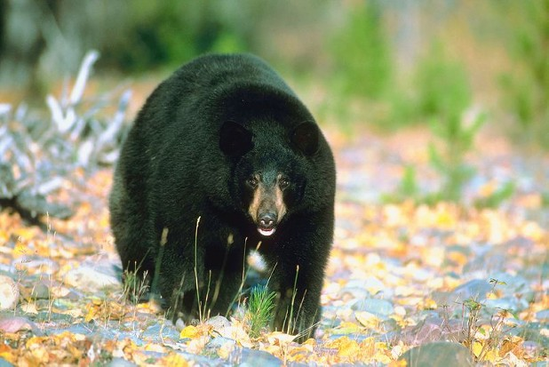 A black bear roams in North Georgia. 
