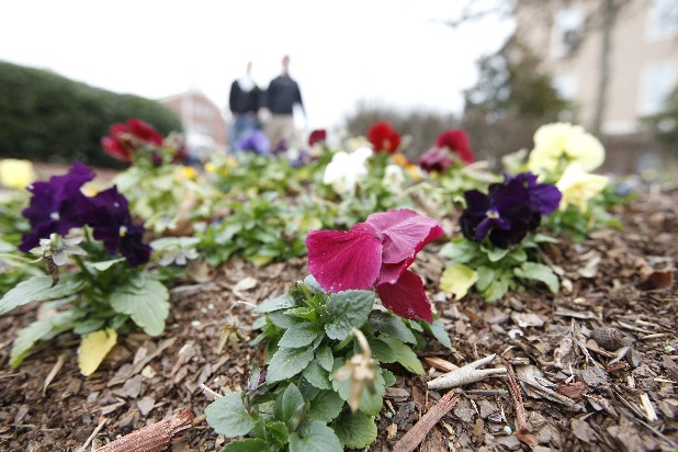 Pansies planted on UTC's campus begin to wilt on Friday afternoon. Low temperatures projected over the next few days may damage blooming flowers throughout the city.