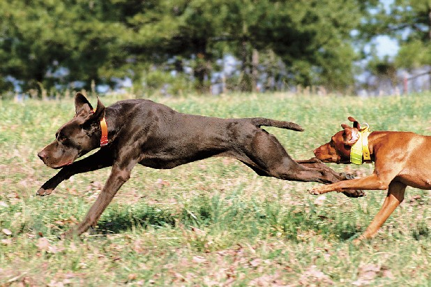 "Andy Cooper's German shorthair pointer ""Dez"" and Amber Duff's Vizla ""Kate""