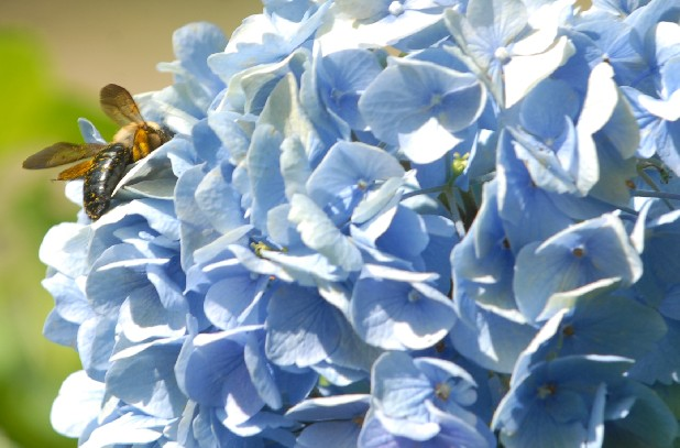 A honey bee rests on a hydrangea in Jim Greasby's garden.