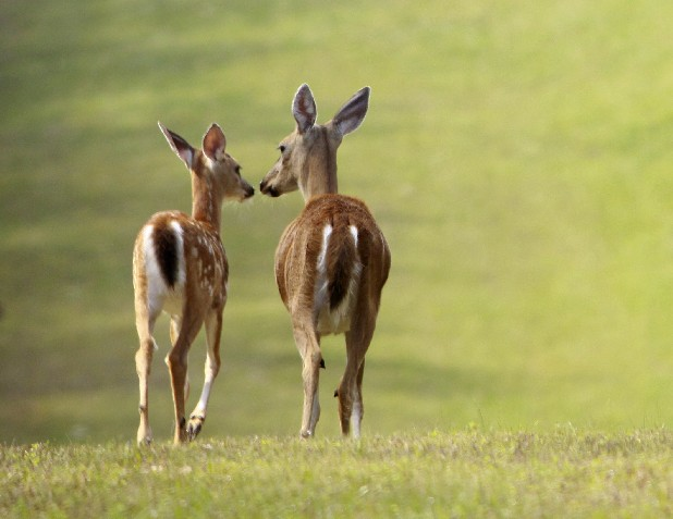 A fawn and doe wander along the southern boundary of Enterprise South Nature Park. Officials allow  alimited number of hunters access to the park during two weekends in October to hunt deer and turkey.