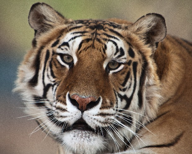 This image provided by Bill Dow shows a tiger formerly owned by Michael Jackson,named Thriller, shown in California. Thriller, the tiger that belonged to Michael Jackson when the entertainer lived at Neverland, died of lung cancer at Tippi Hedren's wildlife preserve near Los Angeles on June 11, 2012. (AP Photo/Bill Dow)