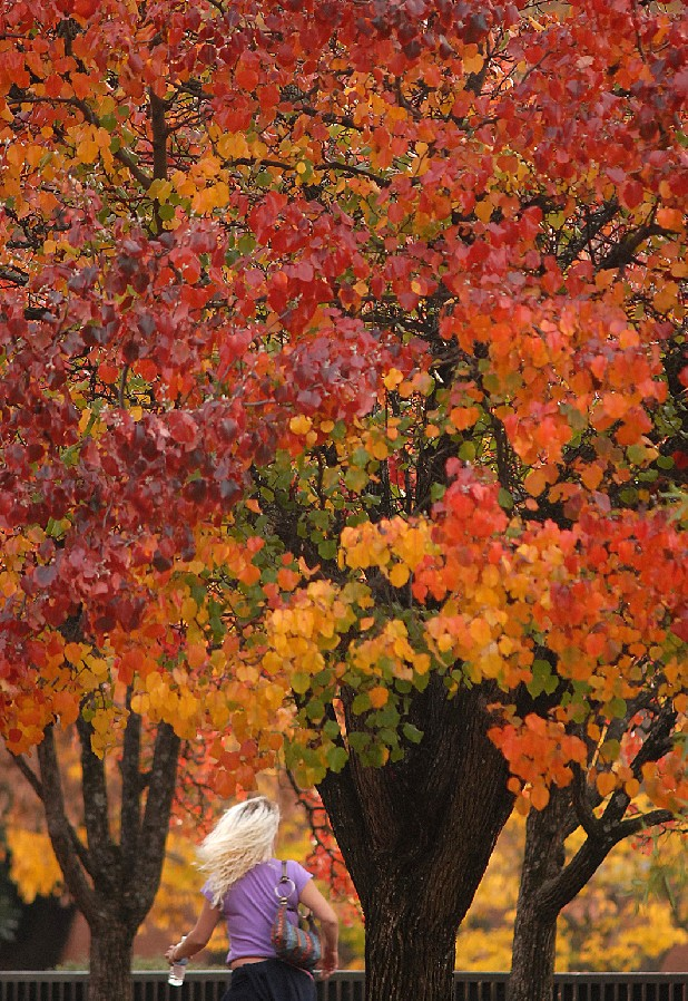 In this file photo, a pedestrian walks past Bradford Pear trees with colorful foliage in Miller Park.
