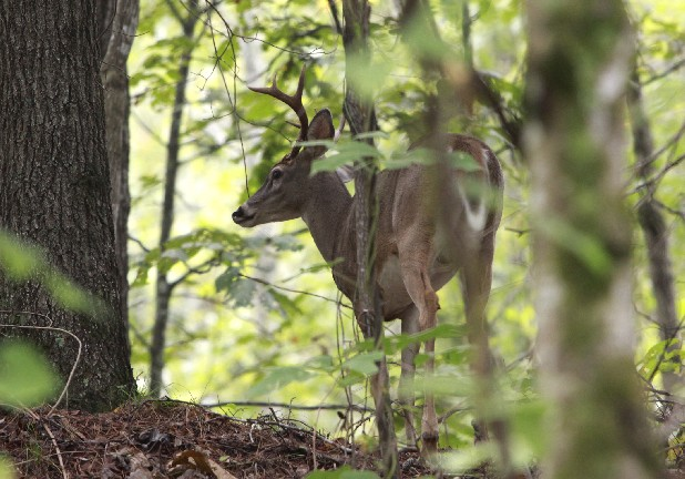 A buck makes his way over a ridge in the heart of Enterprise South Nature Park.