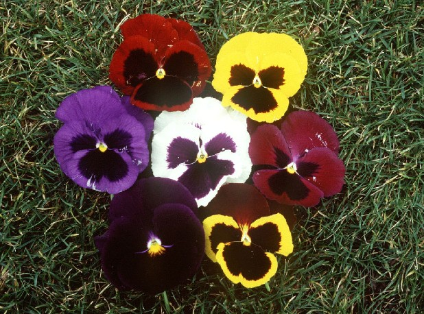 Some pansies have a delicate perfume-like aroma. Yellow and blue varieties produce the strongest scents.