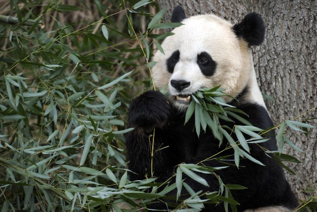 This Dec. 19, 2011 file photo shows Mei Xiang, the female giant panda at the Smithsonian's National Zoo in Washington. The zoo will disclose the cause of death of Mei Xiang's 6-day-old cub at a news conference this morning. The cub, believed to be female, died Sept. 23, 2012. (AP Photo/Susan Walsh, File)