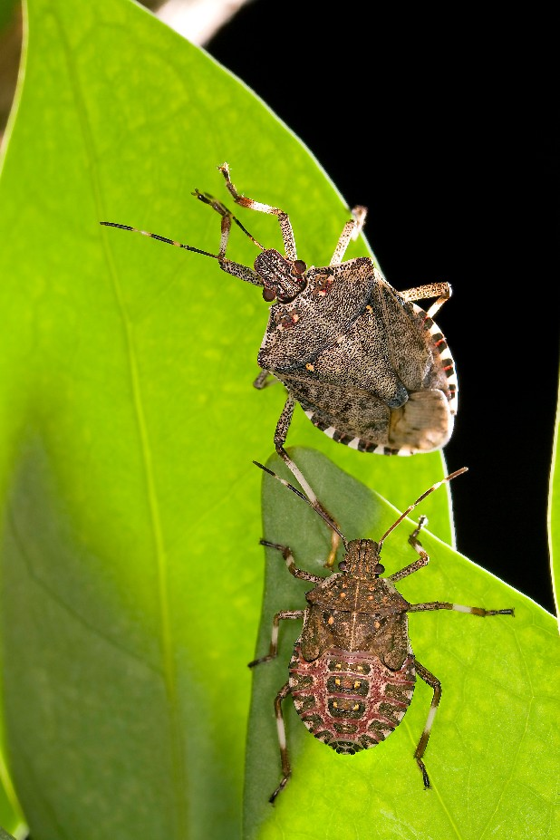 The brown marmorated stink bug (Halyomorpha halys), a winged invader from Asia that is eating crops and infesting U.S. homes, is spreading and is expected to continue to do so. Adult (top) and fifth-instar nymph (bottom). 