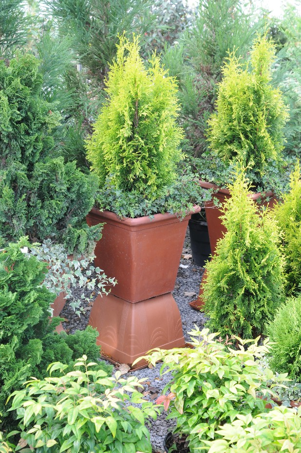 Daniellow arborvitae, which resembles a cedar tree, can be planted in outdoor pots.