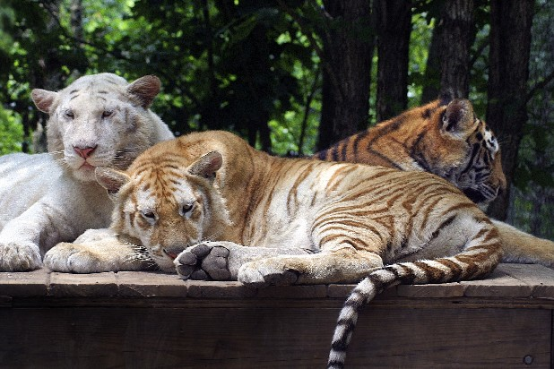 An exhibit featuring Bengal tigers Alya, Aurora and Ravi will open Saturday at Tigers for Tomorrow in Attalla, Ala.