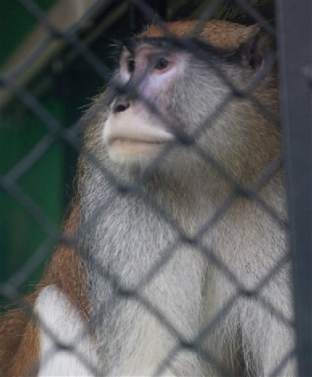 A Patas monkey looks out of his cage at Zoo Boise after his cage mate was severely injured and died in Boise, Idaho on Saturday, Nov. 17, 2012. Police are investing an early monring break-in at at the zoo. The injured monkey was found shortly after suspects were spotted and ran off.