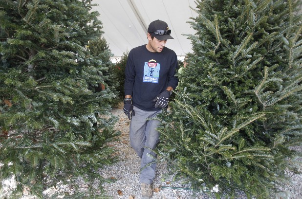 Mike Tavares walks between two trees while arranging rows of Christmas trees Wednesday at a lot on Frazier Avenue on Chattanooga's North Shore. The largest sales of Christmas trees occur the week after Thanksgiving.