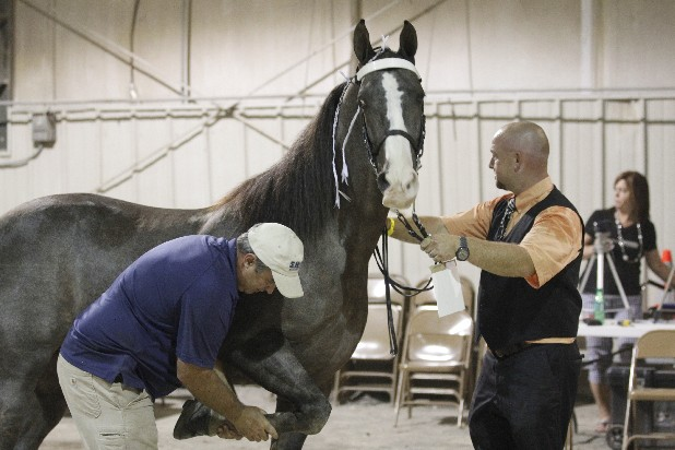 A lay inspector goes over a horse in the inspection area at the Tennessee Walking Horse National Celebration in Shelbyville, Tenn., in August.