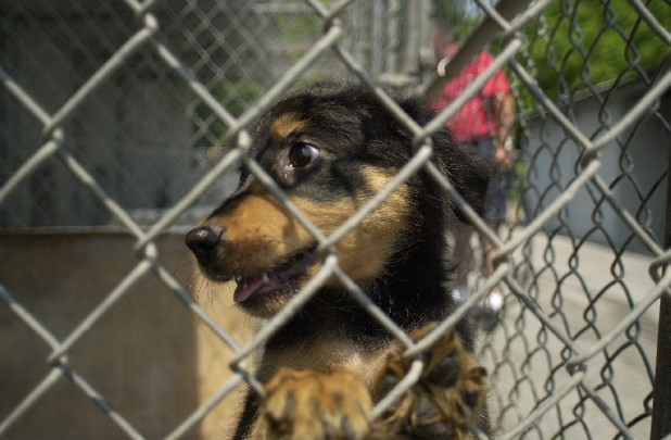 A puppy brought into the East Ridge Animal Shelter looks through the wire of one of the kennels at the facility in this file photo.