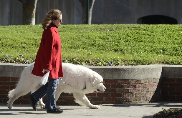 Carolyn Insler walks along Market Street in downtown Chattanooga on Thursday, accompanied by her dog Duece, a Great Pyrenees.