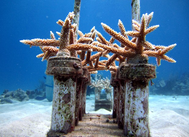 Coral grows in a coral reef nursery as part of a Caribbean coral reef restoration program off Cane Bay, St. Croix, U.S. Virgin Islands. Across the globe, reefs that have proven resilient for thousands of years are in serious decline, degraded by over fishing, pollution, coastal development and warming ocean waters. And threats to coral are only expected to intensify as a result of climate change and ocean acidification due to greenhouse gases.