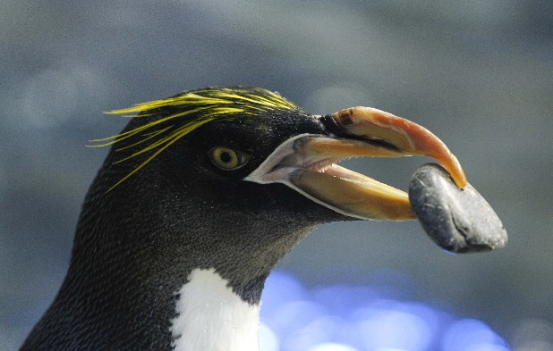 A Macaroni penguin carries a rock to build a nest with during the first day of breeding season at the Tennessee Aquarium's Ocean Journey exhibit on Monday.