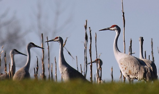 Tennessee fish and wildlife again considers sandhill crane for Tennessee fish and wildlife