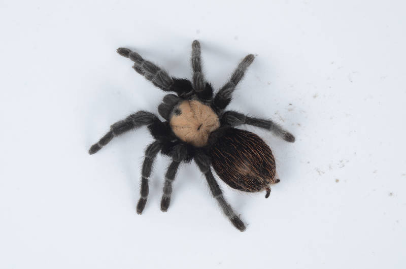 Tarantulas May Look Scary But Owners Say They Re Quite Nice Chattanooga Times Free Press