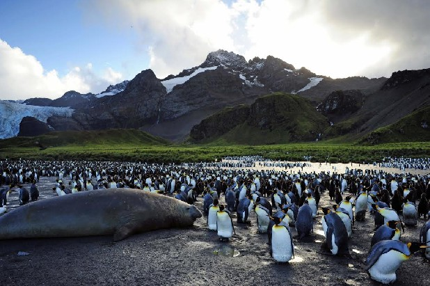 "The king penguins of Gold Harbour are featured in the Imax movie ""Penguins 3D."""