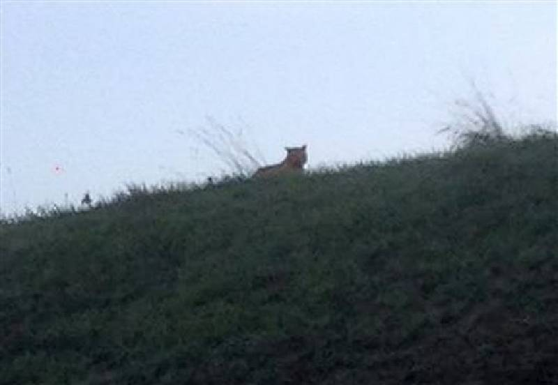 French Police Seek Tiger On The Loose Near Disneyland Paris Chattanooga Times Free Press