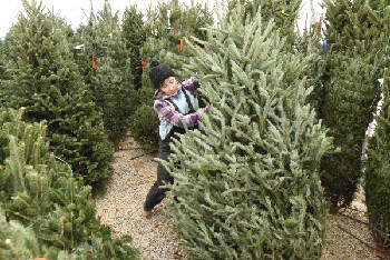 Growers and retailers give thanks for buyers of real Christmas trees ...