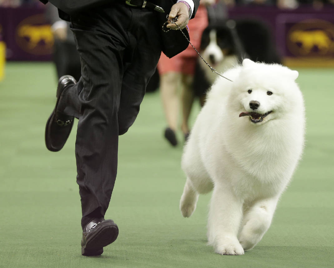 National Business Group On Health >> Many dog breeds yearn for 1st Westminster best in show ...