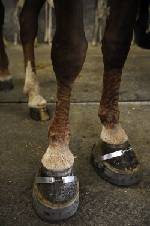 Trump administration places horse 'soring' ban on hold