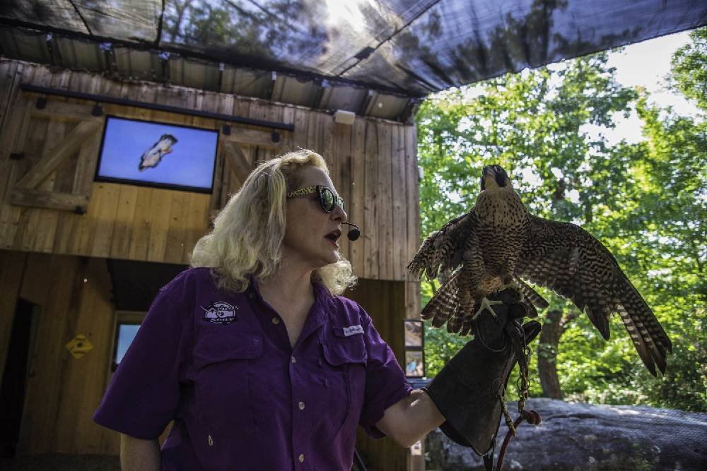 Birds Of Prey Meet The Rock City Raptors Chattanooga Times Free Press