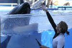 Tilikum, orca that killed trainer, dies at SeaWorld Orlando