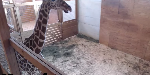 April the pregnant giraffe is giving birth on a live video stream