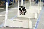 Fetch! Dogs race against the clock in regional flyball tournament