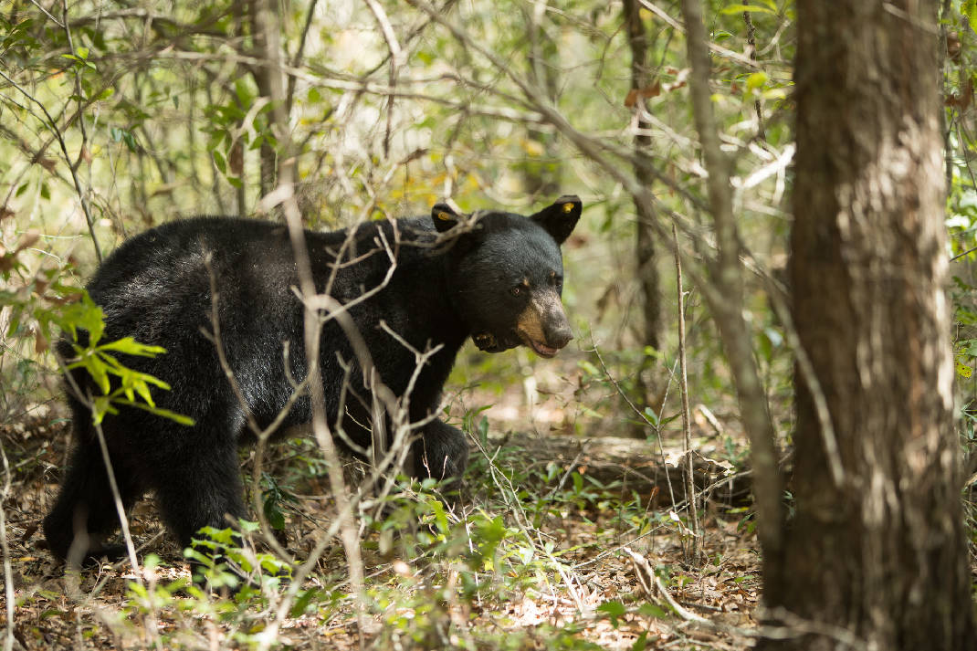Black bears spreading across North Alabama | Times Free Press