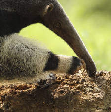 Chattanooga Zoo starts work on giant anteater expansion